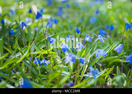 Blue scilla flowers blooming in green grass in early spring - Stock Photo