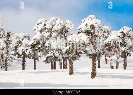 Snowy forest landscape in winter time. Navacerrada, Madrid, Spain. Scenery - Stock Photo