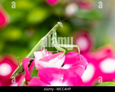 Green Praying Mantis, Mantis religiosa, sitting on a vinca flower, waiting for insects to catch them. Outside of Europe this species is also called Eu - Stock Photo