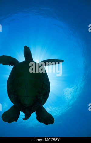 The silhouette of a large female green sea turtle, Chelonia mydas, an endangered species, passes overhead at a cleaning station off West Maui, Hawaii. - Stock Photo