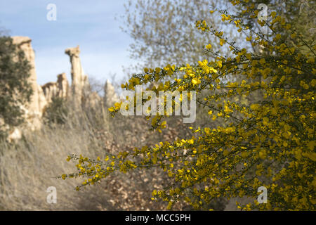 French broom growing in the Site des Orgues, Ille-sur-Têt near Perpignon, Languedoc-Roussillon, France - Stock Photo
