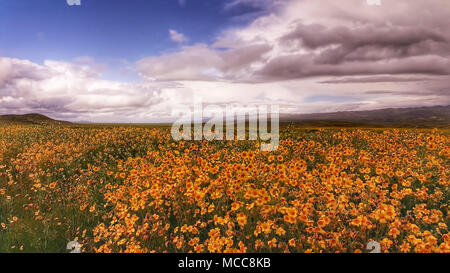 Orange wildflowers under clouds on the Carrizo Plain in California. - Stock Photo