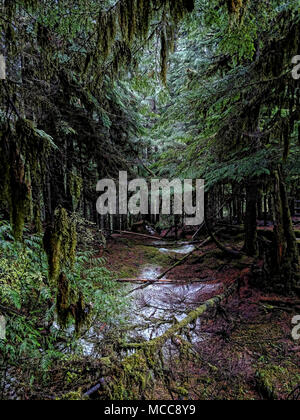 New ice on a forest floor in Oregon. - Stock Photo