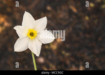 White daffodil on the background of scorched grass. The battle for life, ecology - Stock Photo