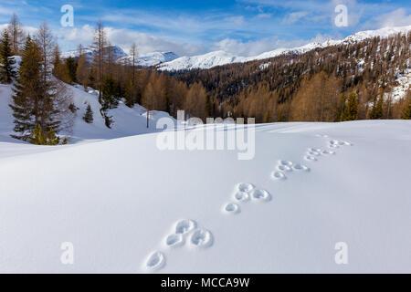 Lepus timidus footprints on snow. Mountain hare. Val Venegia. - Stock Photo