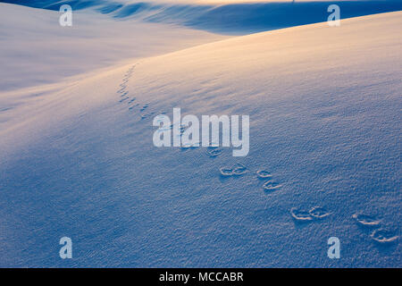 Footprints on snow at sunset. Animal tracks. - Stock Photo