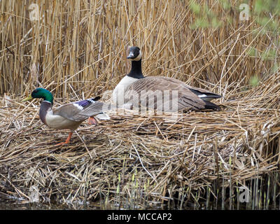 Nesting Canada Goose, Teifi Marshes, Wales - Stock Photo