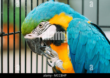 Blue-and-yellow Macaw Also Known As The Blue-and-gold Macaw In Zoo. Wild Bird In Cage. - Stock Photo