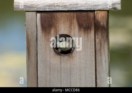 Little Canada, Minnesota. Gervais Park. Female Tree Swallow, Tachycineta bicolor, looking out of her nesting box. - Stock Photo