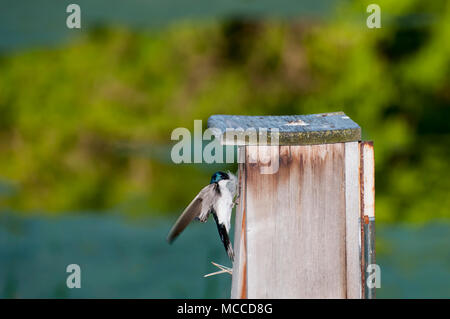 Little Canada, Minnesota. Gervais Park. Male Tree Swallow, Tachycineta bicolor, bringing nesting material to his mate to build a nest in the nesting b - Stock Photo