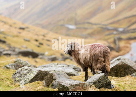 herdwick sheep in Lake District - Stock Photo