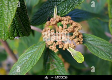 Leatherleaf Viburnum, Detail. Blossom in Spring - Stock Photo
