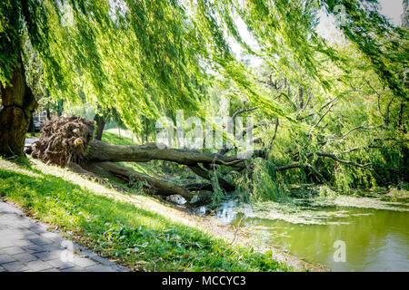 Tree uprooted after wind storm fallen into river. - Stock Photo