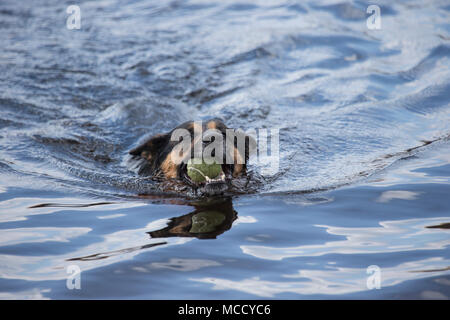 German shepherd dog, Alsatian, Canis lupus familiaris retrieving a tennis ball from a West Yorkshire lake - Stock Photo