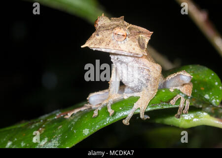 The extremely rare and endangered Ecuador Horned Treefrog (Hemiphractus bubalus). Roosting at night In its natural habitat the rainforest understory,  - Stock Photo