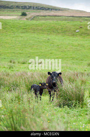 Pure bred Dexter cow and calf on rough grazing near Hadrian's Wall in Northumberland. - Stock Photo