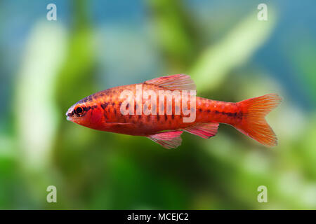 Beautiful red fish on soft green plants background. Male barb swimming tropical freshwater aquarium tank. Puntius titteya belonging to the family Cyprinidae. Macro view, shallow depth of field - Stock Photo
