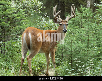 A Mule Deer buck in velvet antlers looking back from a forest in northern Montana. - Stock Photo