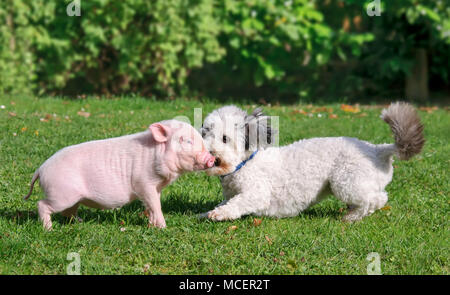 Cute young minipig and a small dog, Coton de Tulear, are playing together on a green grass meadow in a garden - Stock Photo