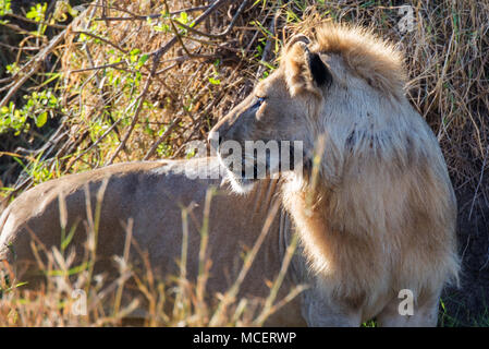 MALE LION (PANTHERA LEO), SERENGETI NATIONAL PARK, TANZANIA - Stock Photo
