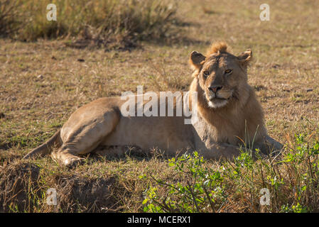 MALE LION (PANTHERA LEO) LAYING DOWN, SERENGETI NATIONAL PARK, TANZANIA - Stock Photo