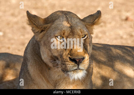 FEMALE LION (PANTHERA LEO) RESTING IN THE SHADE, SERENGETI NATIONAL PARK, TANZANIA