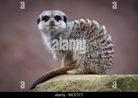 Meerkat sitting looking for danger - Stock Photo