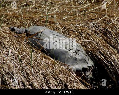 Snapping Turtle near Musquodoboit River, Meagher's Grant, Nova Scotia, Canada - Stock Photo