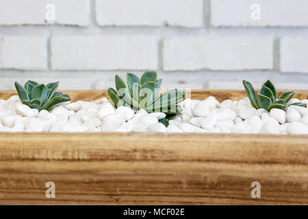 Succulents on white pebbles in wodden bowl still life - Stock Photo