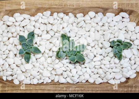 Isolated green succulent on white pebbles - Stock Photo