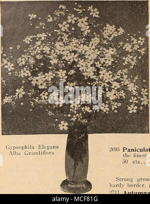 """. GEUM (Avens) PER PKT. 2541 Atrosanguineum FI. PI. Beautiful hardy perennial, bearing profuselj' large showy double dark crimson flowers all through the summer; an elegant flower for bouquets. 34 oz., 40 cts 10 GOLDEN ROD (SoUdago canadensis) ''i^^ i^'<3^^?»^iSJSy^P^^^ -601 The well-known goldcn-ycUow favorite; hardy percn- . rVfeeLgT-Vog*^ ^BmI^I nial; 2 to 5 feet 10 â â C^'^CaaBa^W GYPSOPHILA (Baby's Breath) Pretty free-flowering elegant plants, succeeding in any garden . â â ^^^1^^ .,.-,.--_â- soil. Their mist' white panicles of bloom are largely used for '"""" ^^^^^^^^^^^^^^^"""" - Stock Photo"""