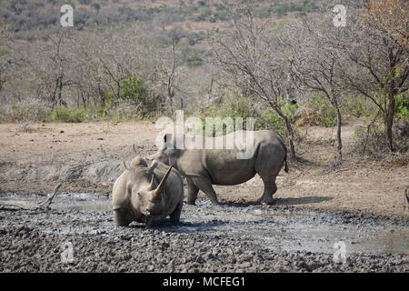 Rhino's at the watering hole, Hluhluwe Game Reserve - Stock Photo