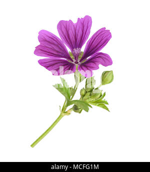 Mallow plant with flower isolated on white - Stock Photo