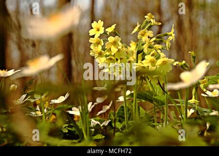 flowering common cowslip in spring - Stock Photo