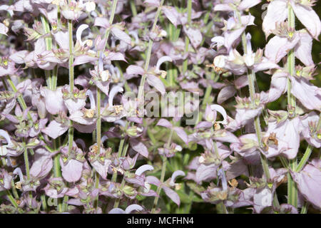 Clary Sage (Salvia sclarea) - Stock Photo