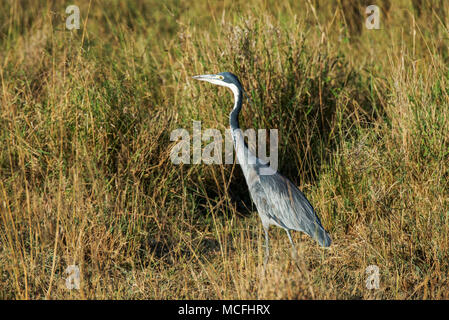 BLACK HEADED HERON (ARDEA MELANOCEPHALA), SERENGETI NATIONAL PARK, TANZANIA - Stock Photo