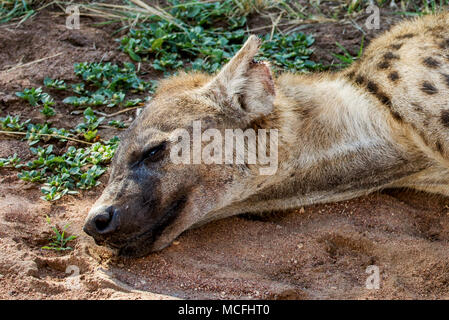 SPOTTED HYENA (CROCUTA CROCUTA) LAYING IN THE SHADE, SERENGETI NATIONAL PARK, TANZANIA - Stock Photo