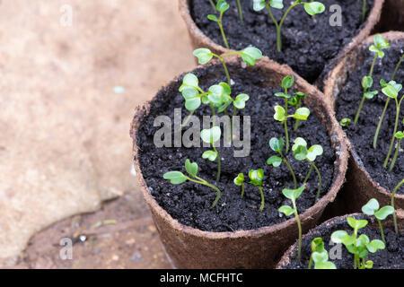 Brassica oleracea acephala. Kale 'Nero di Toscana' seedlings in plant pots inside a greenhouse. UK. Tuscan Kale / Black Cabbage - Stock Photo
