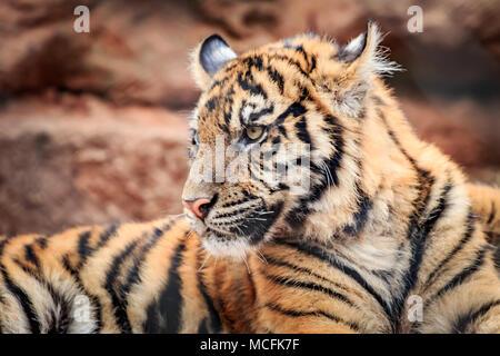 A Sumatran Tiger (Panthera tigris sumatrae) cub portrait - Stock Photo