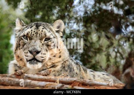 Snow Leopard (Panthera uncia) portrait. - Stock Photo