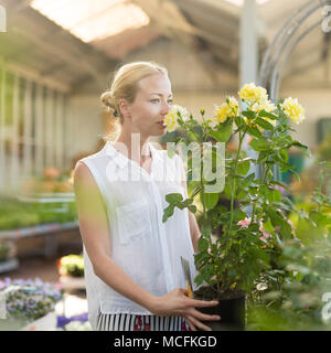 Florists woman working with flowers at greenhouse, holding and smelling blooming yellow potted roses. - Stock Photo