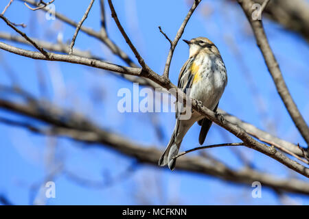 A Yellow Rumped Warbler (Setophaga coronata) perched in a bare winter tree. - Stock Photo