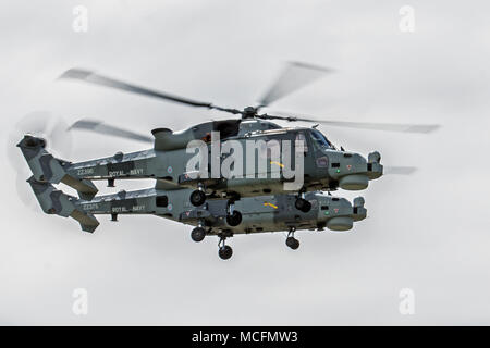 A pair of AgustaWestland Wildcat HMA Mk 2s from 825 NAS are currenlty being flown by the Royal Navys Black Cats Aerobatic Display Team - Stock Photo