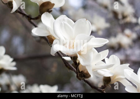 Branch with blossoming white magnolia flowers close up - Stock Photo