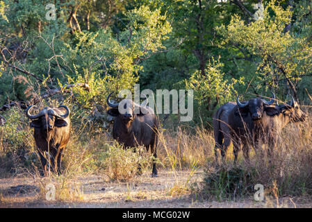 HERD OF AFRICAN CAPE BUFFALO (SYNCERUS CAFFER) IN THE AFRICAN SAVANNA, ZAMBIA - Stock Photo