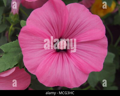 Bud of flower of lavatera. Petals and stamens are purple. Close up. - Stock Photo