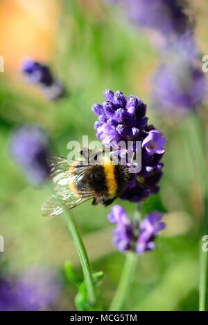 Macro shot of a bumble bee pollinating lavender flowers - Stock Photo