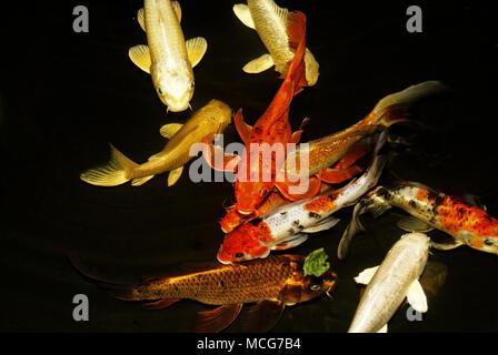 multi-colored live koi carp in water on a dark background - Stock Photo