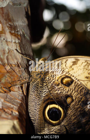 butterfly Caligo memnon (giant owl or pale owl) on a tree trunk on a dark background closeup - Stock Photo