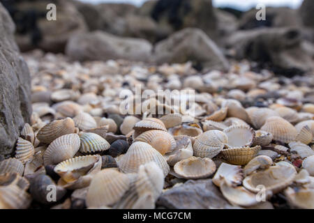 Lot's of seashells piled up at the edge of the beach taken in Morecambe Bay, England, UK on 11 April 2018 - Stock Photo